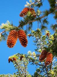 Pine Season