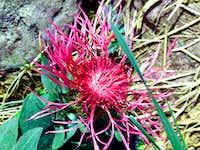 Flower from Fagaras