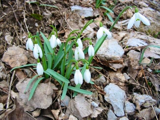 Snowdrops in Rakitnica...