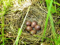 Nest of Skylark with eggs