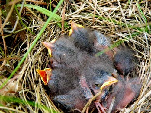 Six days later-  Skylark Chicks have hatched