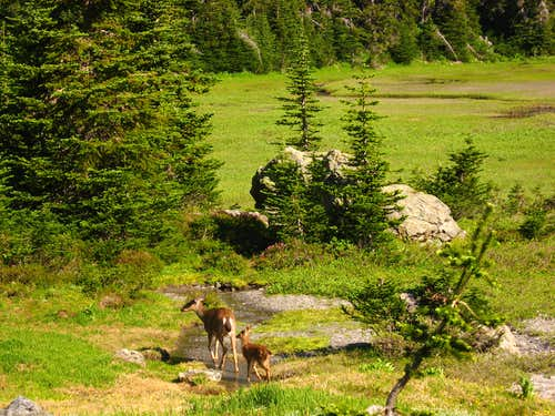 Deer in Royal Basin