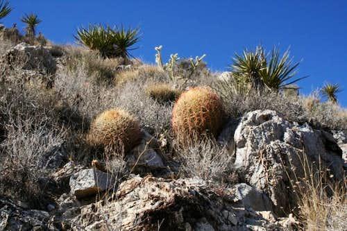 Mojave cacti