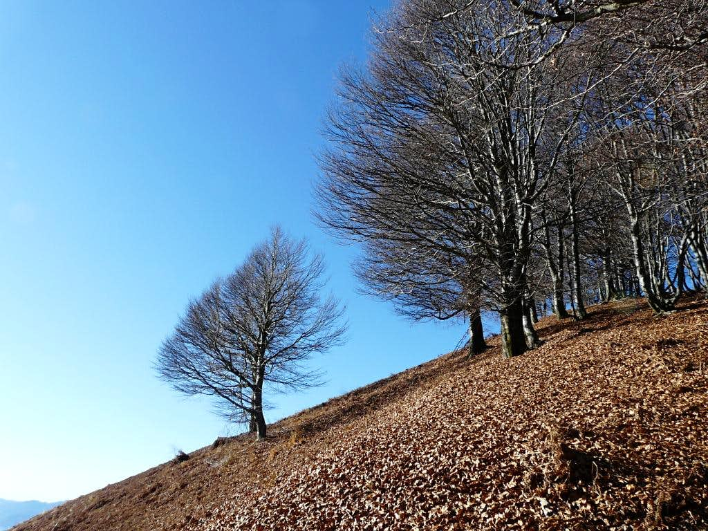 Beech trees on the way to Mount Faie'