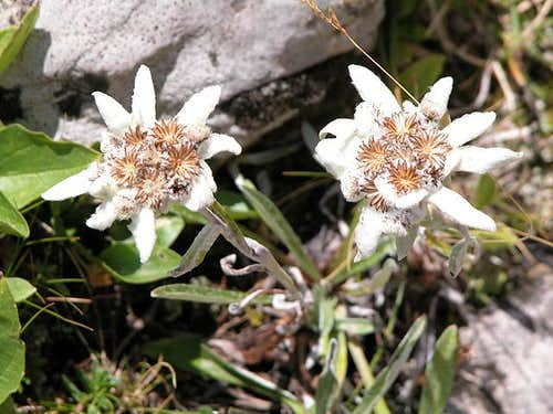 Edelweiss to the side of...