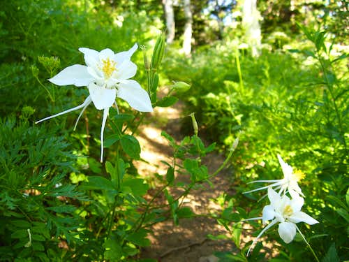 Columbines on Mount Nebo