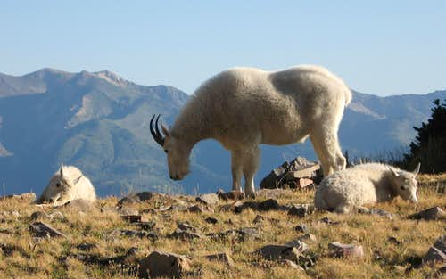 Mountain Goats on Timpanogos