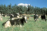 cows and chimborazo