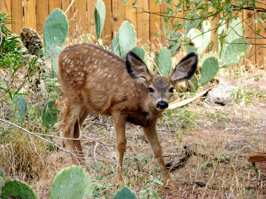 Phantom Ranch Fawn
