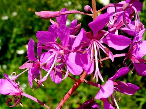 Flowers of Fireweed