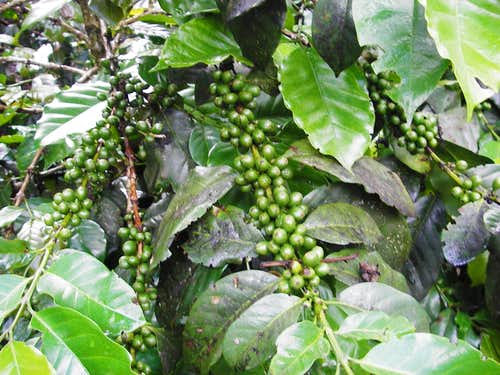 Rainforest Coffee
