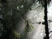 Wet pine trees on Magistrale-route