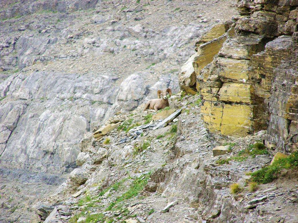 A big horn ram temporarily blocks our descent