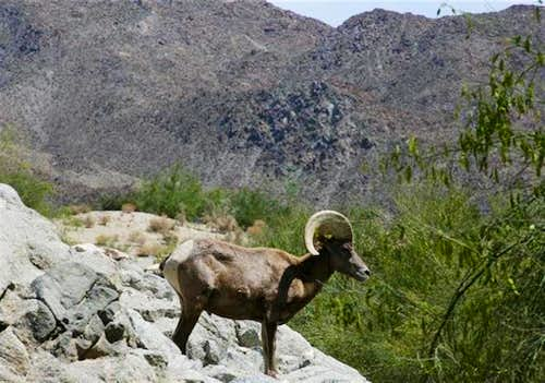 A Lone Bighorn in the Lower Santa Rosas