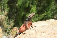 Chuckwalla Lizard near Mt. Eisenhower