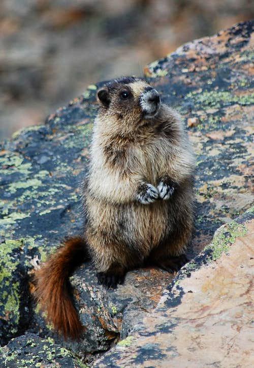 Marmot on Mt Fairview