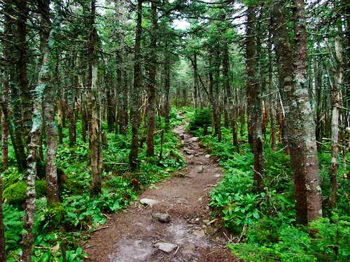 Pemigewasset Forest Near Mount Bond