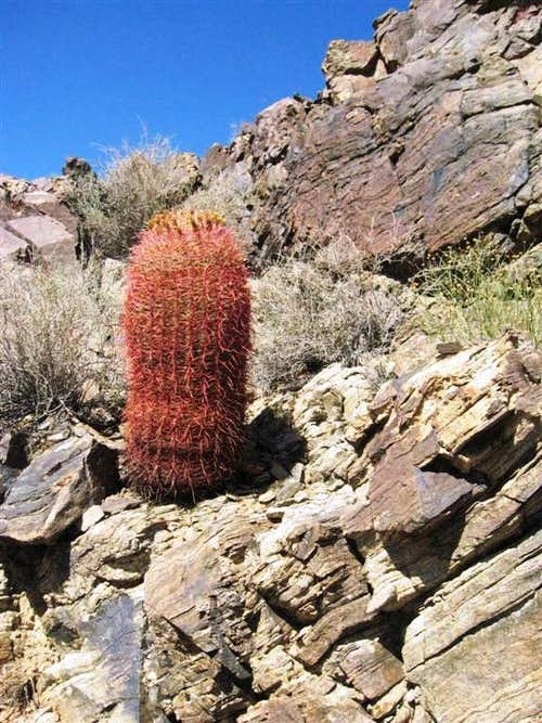 A Lone Barrel Cactus near Skull Rock