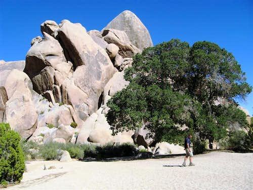 At the Desert Oak in JTNP