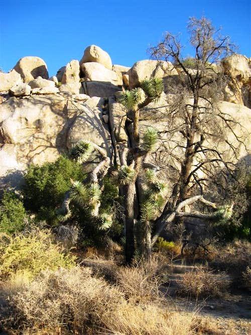 Funny Looking Joshua Tree Near Barker Dam