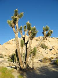 A Joshua Tree in Barker Dam