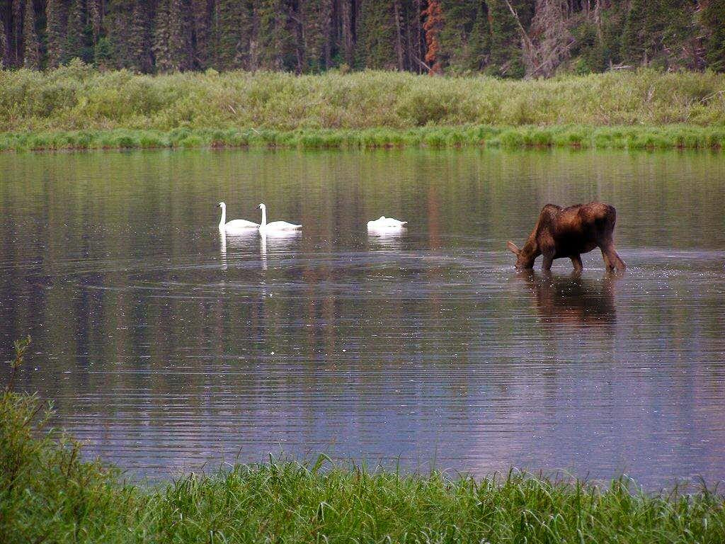 Trumpeters and moose at Kootenai Lakes