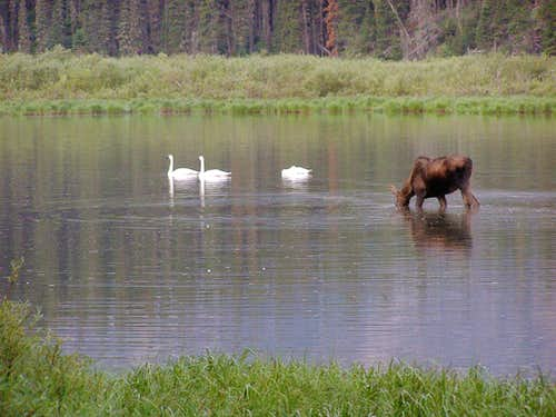Trumpeters and moose at Kootenai Lakes