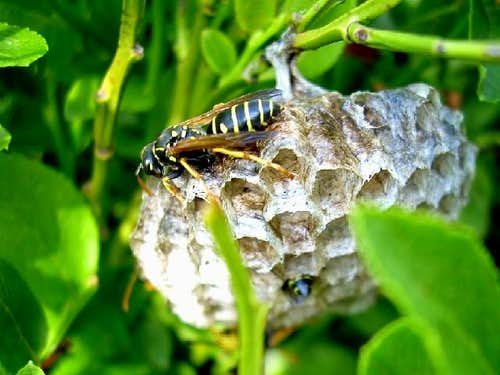 Nest of the Yellow Jackets