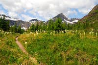patch of beargrass along Swiftcurrent Pass Trail