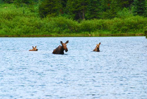 family of moose swimming across Red Rock Lake