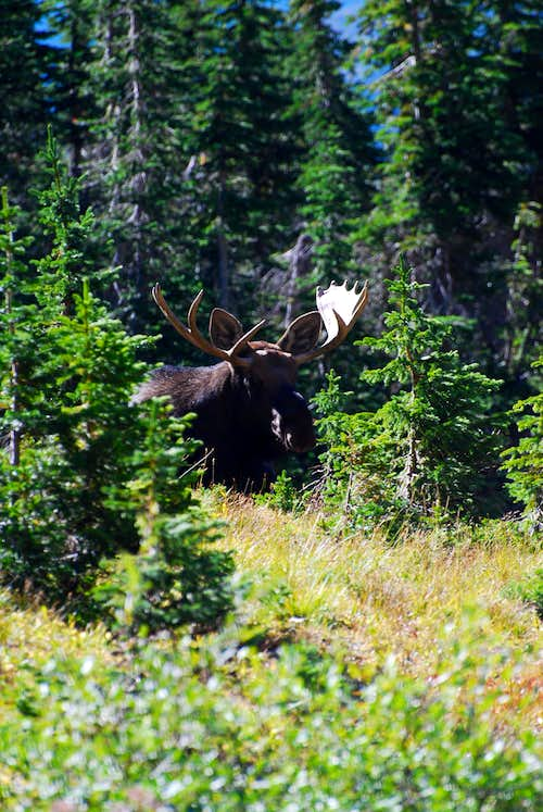 bull moose near Ptarmigan Lake