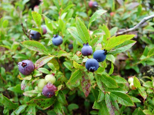 Bog Bilberry On Coe