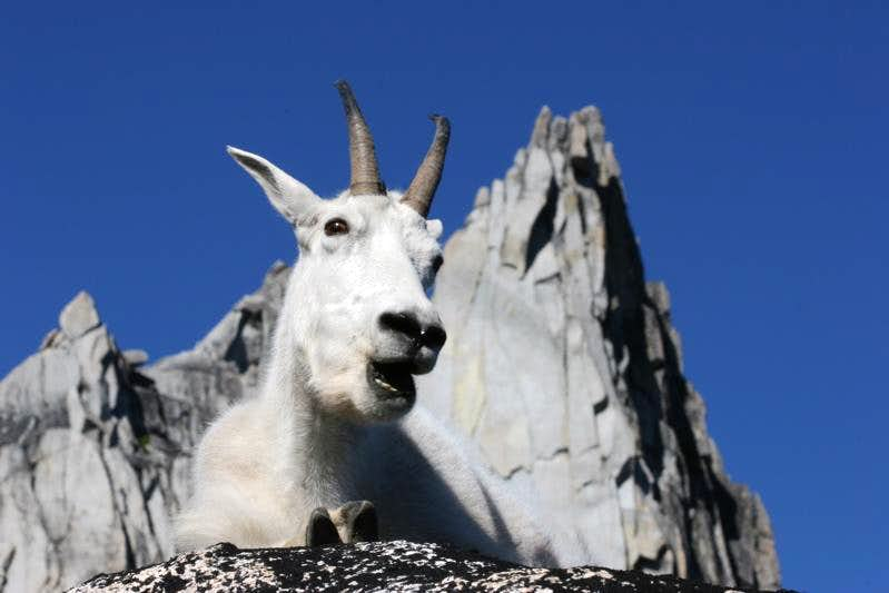 Mountain Goat and Prusik Peak, Enchantments, WA