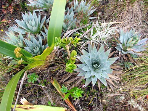 Plants on Roraima