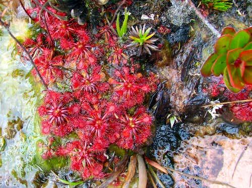 Carnivorous plant on Roraima