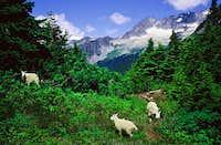 Goats a Plenty