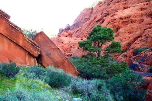 Pine against Red Rocks