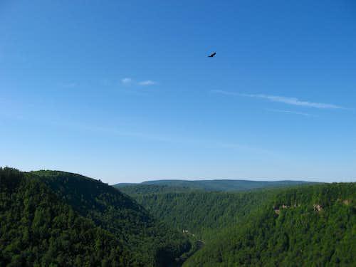 Bird over Pine Creek Gorge