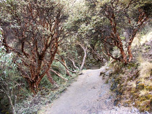 Quenual Trees Along Trail to Macrash Punta
