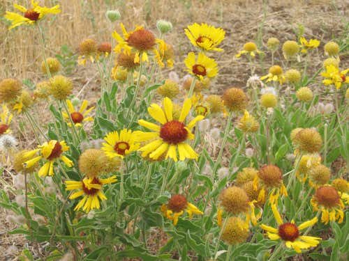 flowers at foot of Horsethief Butte