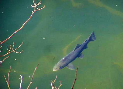 Dodital Lake Brown Trout