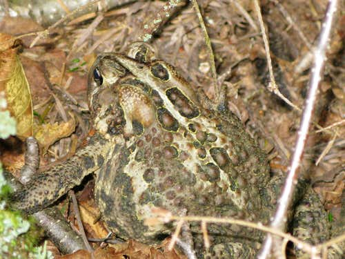 A toad trying to camouflage itself