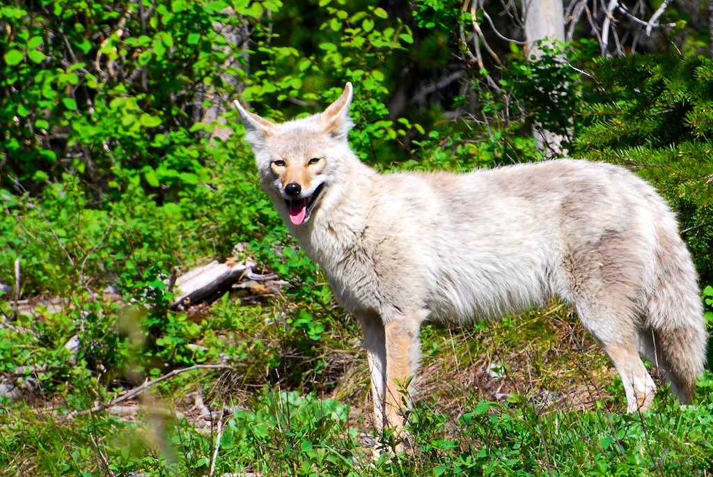 coyote near Swiftcurrent Motor Inn