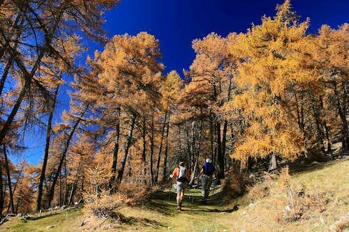 larch trees dream