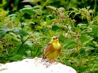 The Singing Yellowhammer
