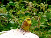 The Yellowhammer
