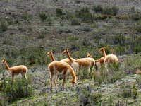 Vicunas near Chimborazo
