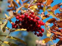 Autumnal rowan (Sorbus aucuparia), in Polish Jarzębina
