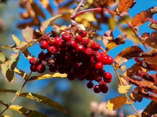 Autumnal rowan (Sorbus aucuparia), in Polish Jarzębina