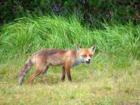 Little Polish fox on Pilsko